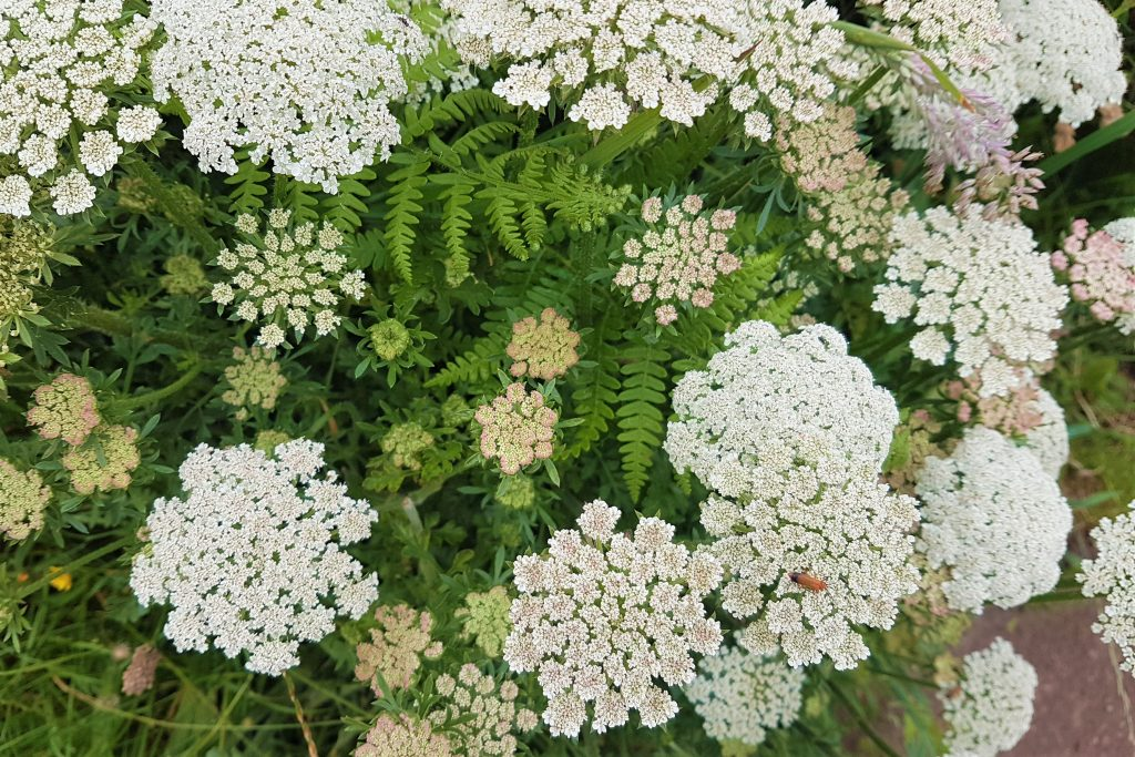 Wild carrot on a foraging course in Cornwall