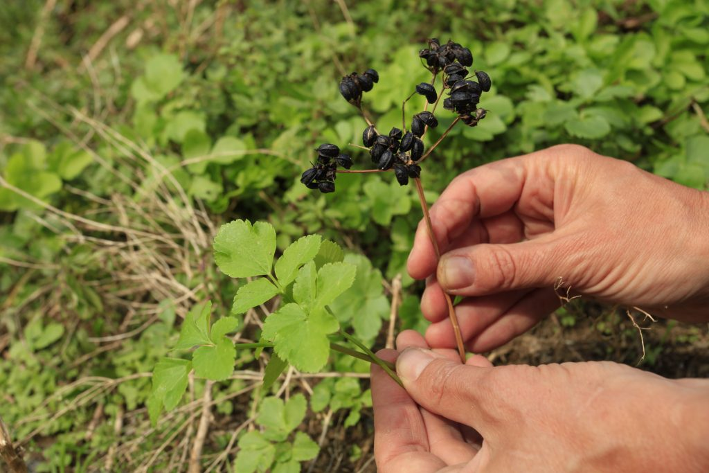 Identifying alexander seeds and leaves on a foraging course in Cornwall