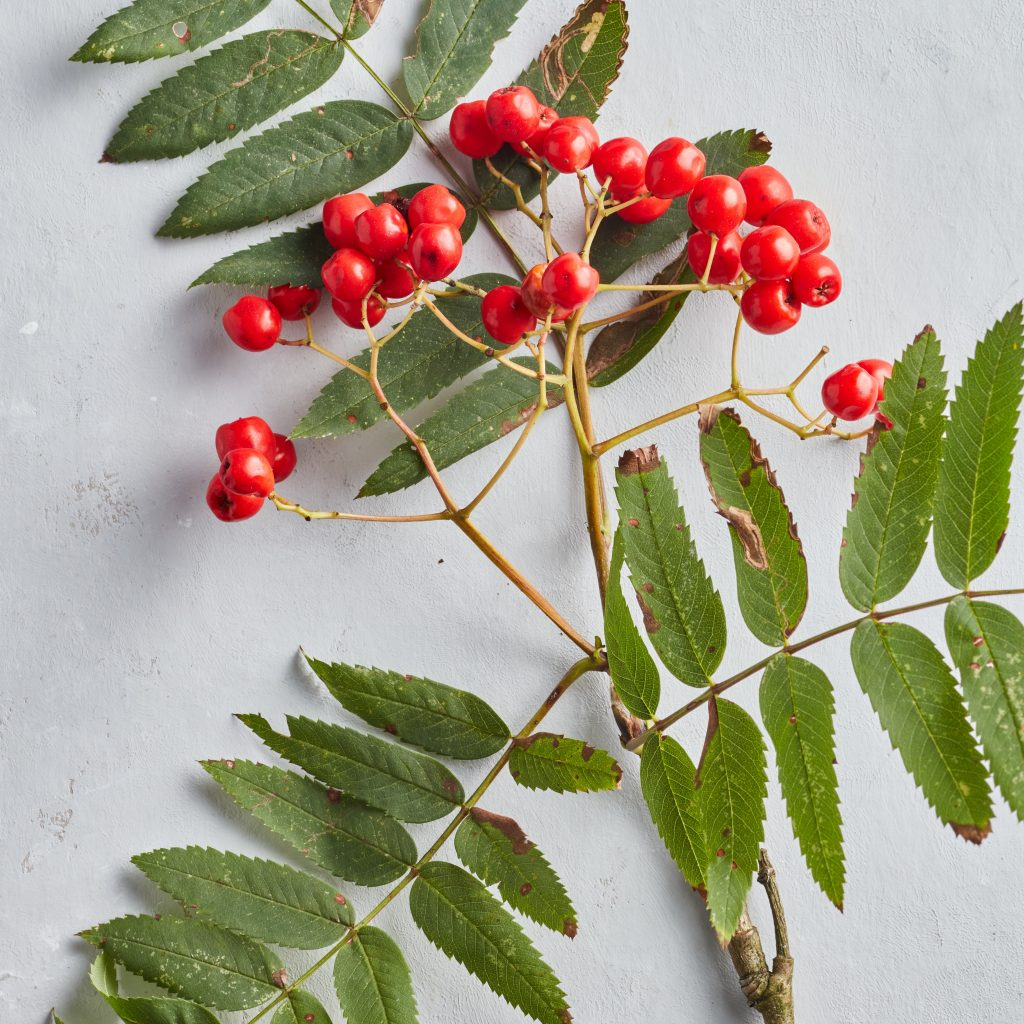 Cluster of rowan berries and leaves from a foraging course