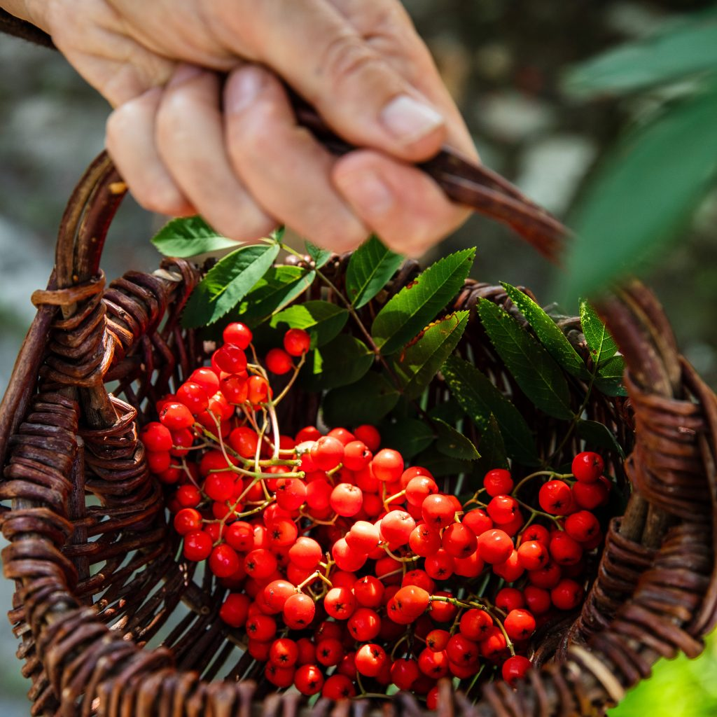 Basket of rowan berries on a foraging course in Cornwall